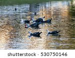 Colorful Muscovy Ducks In A Lake