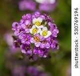 Small photo of Purple and white Alyssum flowers with dew drops