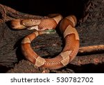 Small photo of Copperhead, snake- agkistrodon contortrix, A North American Venomous Snake