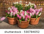 Potted  Blooming Hyacinth In...
