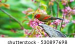 red tailed laughingthrush | Shutterstock . vector #530897698