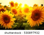 field of sunflowers and sun  | Shutterstock . vector #530897932