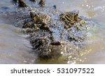 saltwater crocodile in the... | Shutterstock . vector #531097522