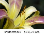 orange day lily or tiger lily ...   Shutterstock . vector #531106126