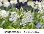 African Lily  Agapanthus...