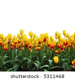 Rows Of Tulips  Isolated On...