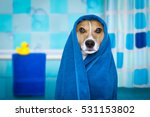 Stock photo jack russell dog in a bathtub not so amused about that with blue towel having a spa or wellness 531153802