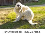Small photo of Golden retriever dog scratching