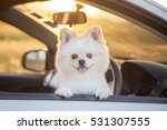 Stock photo beautiful pomeranian dog cute dog in car sunset 531307555