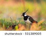 birds   lapwing  vanellus... | Shutterstock . vector #531389005