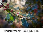 Holly Plant With Its Red Fruits