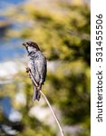 sparrow perched on a passeridae ... | Shutterstock . vector #531455506