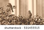 sparrow on a bush c passeridae... | Shutterstock . vector #531455515
