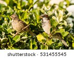 sparrow on a bush f passeridae... | Shutterstock . vector #531455545