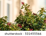 sparrow on a bush h passeridae... | Shutterstock . vector #531455566