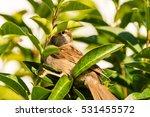 sparrow peeping through the... | Shutterstock . vector #531455572