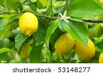Mature lemons on tree. - stock photo