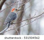 Male Red Bellied Woodpecker...