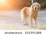 focus golden race dog stand and ... | Shutterstock . vector #531591388