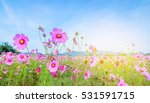 cosmos flowers in blooming with ... | Shutterstock . vector #531591715