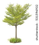 Small photo of Green Terminalia ivorensis Chev and potted tree tall and potted isolated on white background