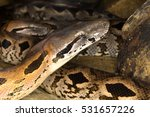 Small photo of Dumeril's Ground Boa, Acrantophis dumerili, is the second largest snake in Madagascar