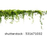 ivy green leaf isolate white... | Shutterstock . vector #531671032