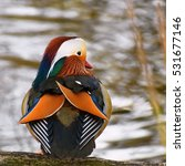 Small photo of A colourful male mandarin duck by the river. (Aix galericulata)