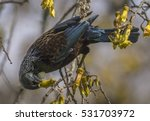 the tui in a kowhai tree... | Shutterstock . vector #531703972