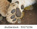 Lion Cub Paw Close Up