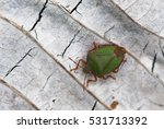 Small photo of Green acanthosomatidae on grey dead leaf