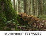 Meripilus Giganteus Growing At...