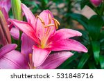 Blooming And Bud Pink Lily...