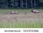 Bull Elk Keeping Watch Over...