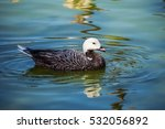 An Emperor Goose Swimming In A...