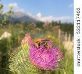 Bumblebee On A Thistle In The...