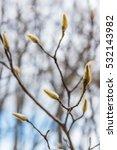 Magnolia Buds In Winter