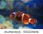 Clownfish Swimming Around In...