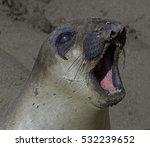 Yawning Seal This Photograph O...