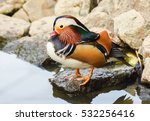 Male Mandarin Duck Standing...