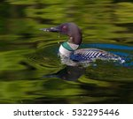 Common Loon In Breeding Plumag...