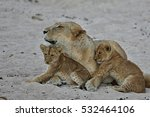 lion female with cubs is... | Shutterstock . vector #532464106