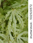 Small photo of Acer palmatum 'Sister Ghost'
