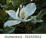 Magnolia Grandiflora In Full...