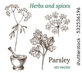parsley. the leaves  flowers... | Shutterstock .eps vector #532536196