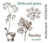 parsley. the leaves  flowers... | Shutterstock .eps vector #532536196