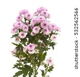 Pink Spray Chrysanthemum With...