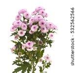 Pink Spray Chrysanthemum With...