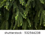 fir tree branch with young... | Shutterstock . vector #532566238