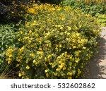 Potentilla Fruticosa 'goldstar...